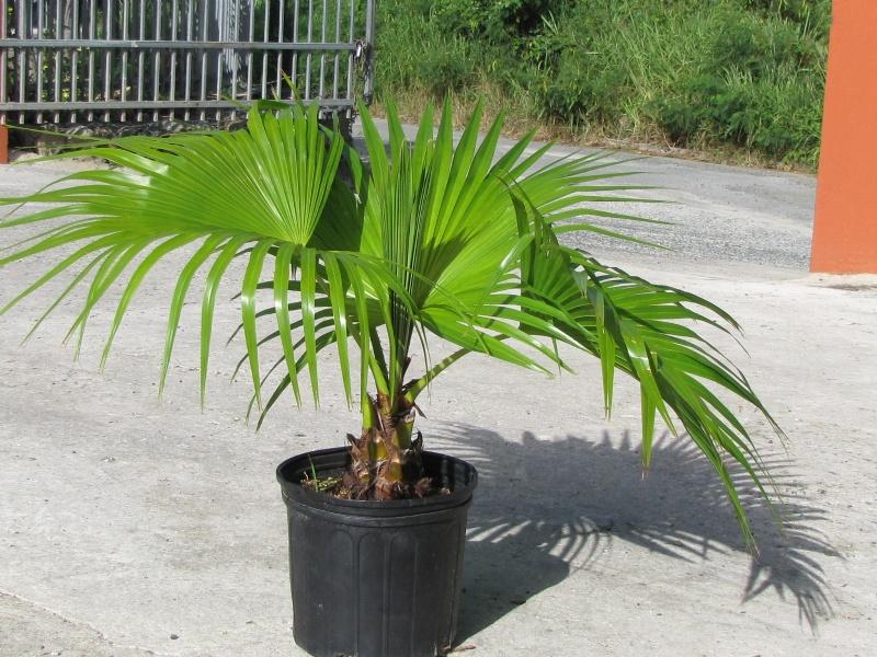 palm tree washingtonia groundworks bvi. Black Bedroom Furniture Sets. Home Design Ideas